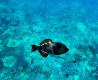 Svart Triggerfish på bakgrund för korallrev Molokini Maui, Hawa Royaltyfri Bild
