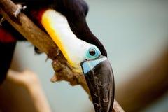 Svart tukan med på en filial på zoo Arkivfoto