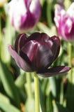 svart tulpan Arkivfoton