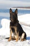 Svart tysk fårhund royaltyfri foto