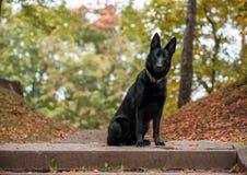 Svart tysk herde Dog Sitting höstsidor i bakgrund royaltyfri bild