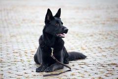svart tysk sheepdog royaltyfria foton