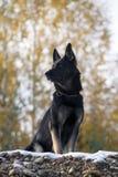 Svart tysk sheepdog royaltyfri foto