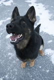 svart tysk sheepdog arkivfoto