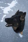 svart tysk sheepdog arkivbild