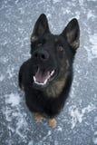 svart tysk sheepdog arkivbilder
