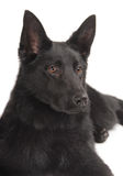 svart tysk valpherde Arkivfoto