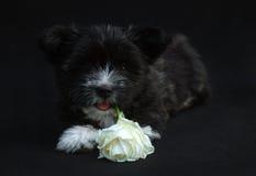 Svart valp med en ros i studio Royaltyfri Foto