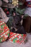 Svart valp på julgranen Fotografering för Bildbyråer