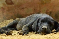 Svart valphundsömn på sanden fotografering för bildbyråer