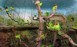 Svart var fräck mot dvärgpapegojor i aviarium royaltyfri fotografi