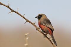 Svart var fräck mot Waxbill - lös fågelbakgrundsskönhet från Afrika Arkivfoton