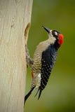 Svart-vara fräck mot hackspett, Melanerpespucherani som sitter på filialen med redehålet, fågel i naturlivsmiljön, Costa Rica Arkivbilder