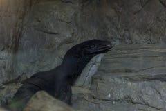 Svart vattenbildskärm i zoo arkivfoto