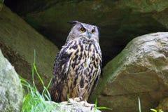 svart vektor för owl för färgpulver för teckningsörnillustration Royaltyfri Foto