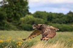 svart vektor för owl för färgpulver för teckningsörnillustration Royaltyfria Bilder