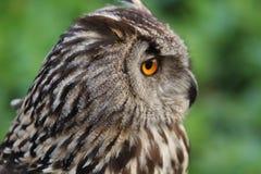 svart vektor för owl för färgpulver för teckningsörnillustration Royaltyfri Bild