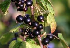 svart vinbär Royaltyfri Fotografi