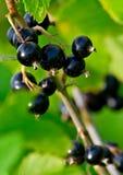 svart vinbär 2 Royaltyfria Foton