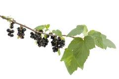 Svart vinbär Arkivbilder