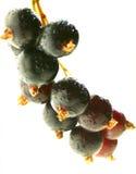 svart vinbär Arkivfoton