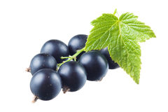 Svart vinbär med bladet royaltyfri bild