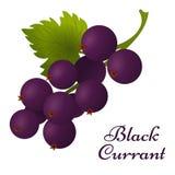 Svart vinbär med sidasymbolen Royaltyfri Bild