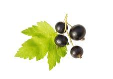 Svart vinbär och leaf Fotografering för Bildbyråer