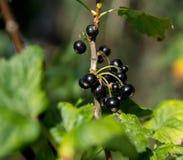 Svart vinbär på en buske arkivbild