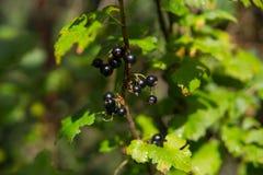Svart vinbär på en buske fotografering för bildbyråer