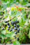 Svart vinbär på filial med suddig bakgrund Arkivfoto