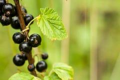 Svart vinbärfrukt på busken Skörd av mogen fluffig blackcurr Royaltyfri Bild