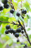 svart vinbärregn Arkivfoto