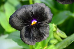 Svart violet Royaltyfri Fotografi
