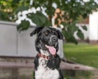 Svart vit färg för hund Royaltyfria Bilder
