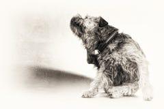 Svart vit, hund, terrier, skrapa som skrapar, kopieringsutrymme, ful Royaltyfri Foto
