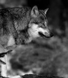 svart vit wolf Royaltyfria Bilder