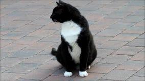 Svart vitt sammanträde för katt på kullersten stock video