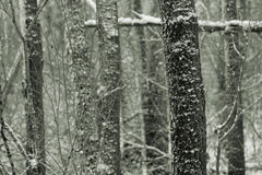 svart vitt trä Royaltyfri Bild