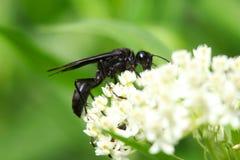Svart wasp arkivfoton