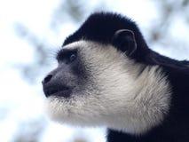 svart white för colobusguerezaapa Fotografering för Bildbyråer