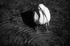 svart white för fågel Fotografering för Bildbyråer