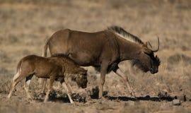 Svart wildebeest royaltyfria foton