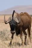 svart wildebeest Arkivfoto