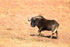 svart wildebeest Arkivbild