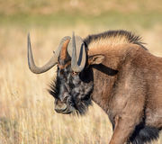 svart wildebeest Arkivfoton