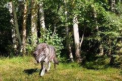 svart wolf Royaltyfri Bild