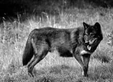 svart wolf royaltyfria bilder