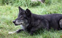 svart wolf arkivbild