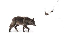 svart wolf Arkivbilder